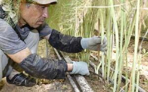 長崎県松浦市にあるJR九州ファームの農場でアスパラガスを収穫する松本敏光さん=8月
