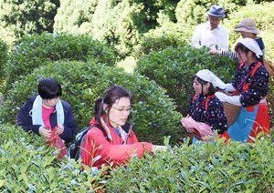 茶摘み体験をする参加者たち。右は「茶娘」の格好をして体験する西九州大の生徒たち=吉野ヶ里町坂本の霊仙寺跡