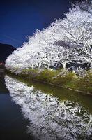 ライトに照らされて闇に浮かぶ桜並木。水面にも鏡のように映り込む=武雄市武内町真手野(ハーフ減光フィルター使用、3月30日撮影)