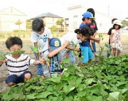 つるを抜き、サツマイモがあるかを確認する子どもたち=佐賀市鍋島5丁目の農園