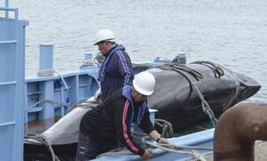 調査捕鯨で捕獲されたクジラ=1日、北海道網走市