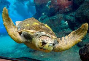 名古屋港水族館で生まれて産卵した雌のアカウミガメ(同水族館提供)