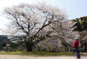 満開に白く色づいたヤマザクラを見上げる=神埼市脊振町服巻の脊振小久保山分校跡